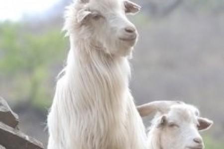 南方山区应该养什么样的羊?一般以山羊为主!