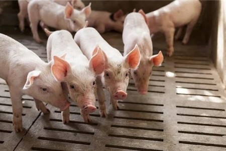 生猪价格连续两年上涨,一月份生猪价格还有机会,一个重要隐患可能对生猪价格造成致命打击