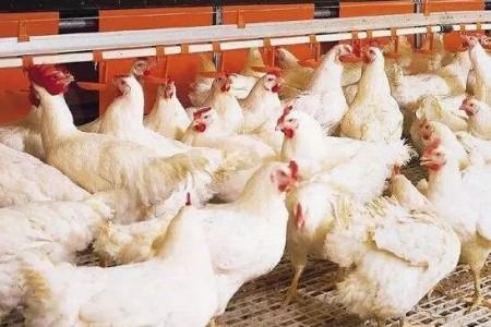 肉鸡怎么才能长得快?肉鸡养殖全程技术!