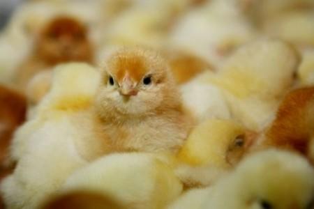 养鸡知识:鸡第一次喝水的时间和注意事项