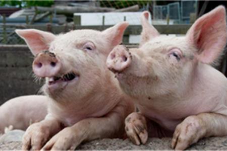 猪价暴涨,是什么逻辑?生猪价格会回升到15元/斤吗?天气预报来了